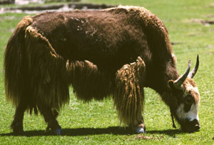 Don't Shave the Yak